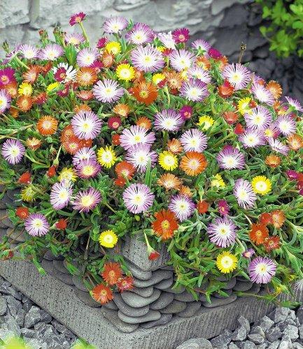 Garten Top Kaufen Baldur Garten Winterharte Eisblumen Farbmix