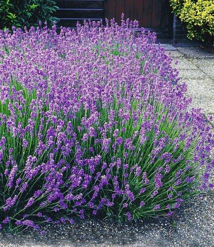 Garten Top Kaufen Baldur Garten Winterharte Stauden Lavendel Hecke