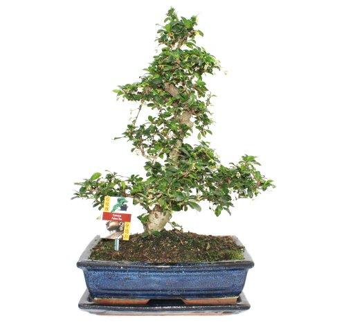 garten top kaufen bonsai fukientee carmona microphylla ca 12 15 jahre. Black Bedroom Furniture Sets. Home Design Ideas