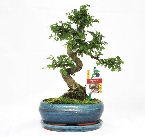 garten top kaufen bonsai chinesische ulme ulmus. Black Bedroom Furniture Sets. Home Design Ideas