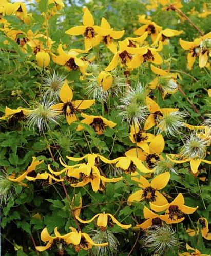 garten top kaufen clematis golden tiara gelb 1 pflanze im 12 cm topf. Black Bedroom Furniture Sets. Home Design Ideas