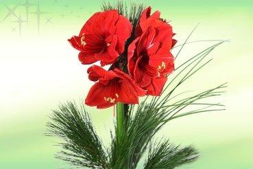 garten top kaufen rote amaryllis advent blume weihnachten. Black Bedroom Furniture Sets. Home Design Ideas