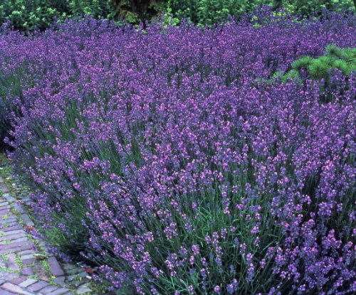 garten top kaufen staude lavendel 12 pflanzen im 7cm topf. Black Bedroom Furniture Sets. Home Design Ideas